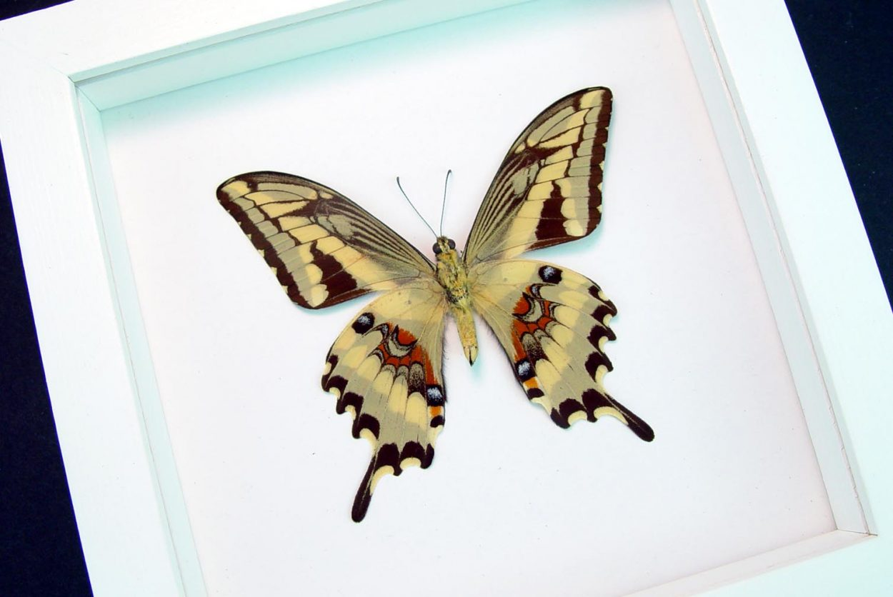 Papilio paeon verso Swallowtail Butterfly Vibrant White Display