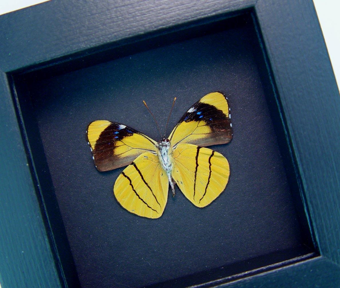 Perisama xanthica Verso Orange Framed Butterfly Moonlight Display ooak