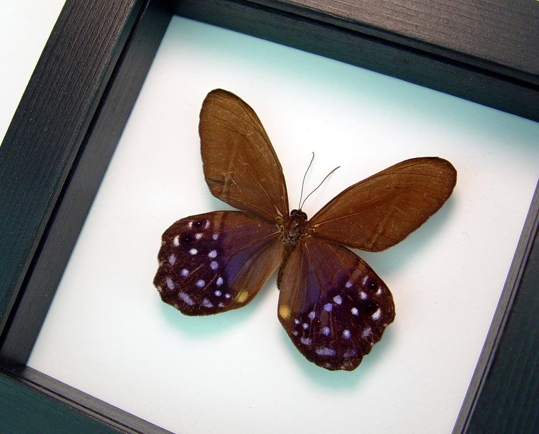 Pierella lena Purple Satyrinae Butterfly Classic Black Display ooak