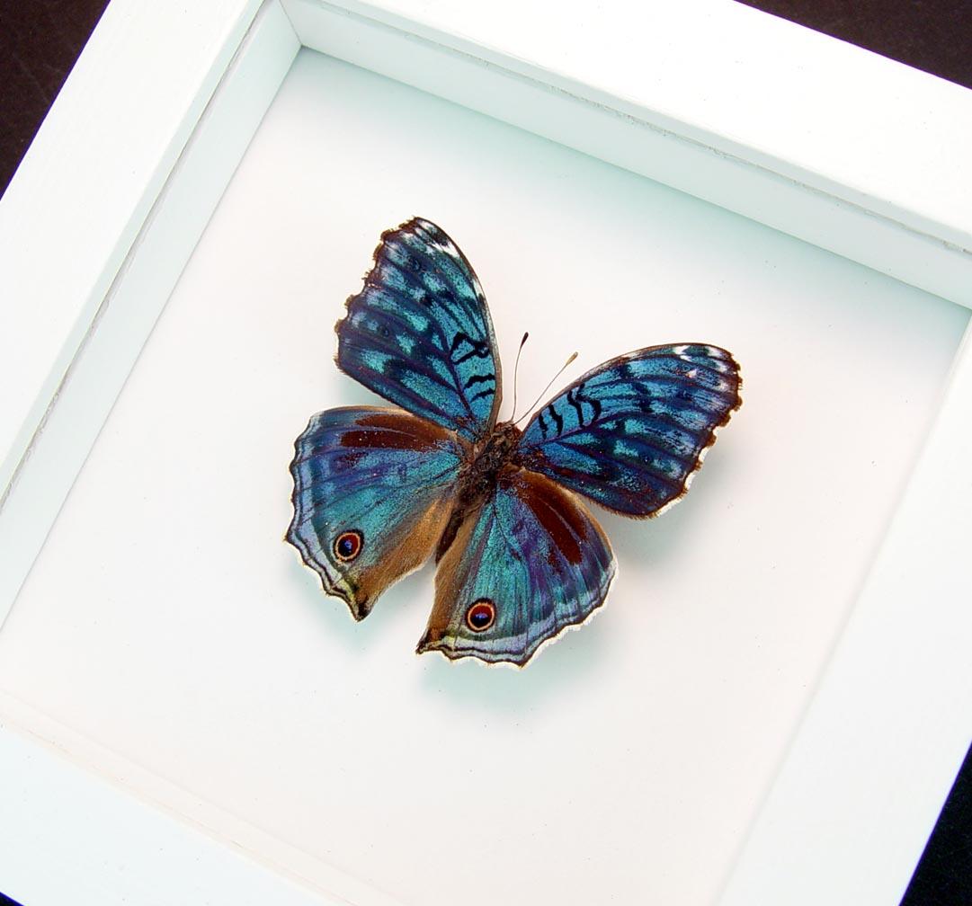 Precis rhadama Royal Blue Pansy Butterfly Vibrant White Display