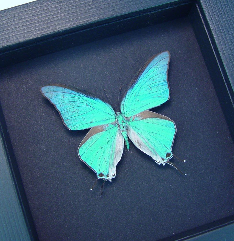 Pseudolycaena marsyas Cambridge Blue Framed Butterfly Moonlight Display ooak