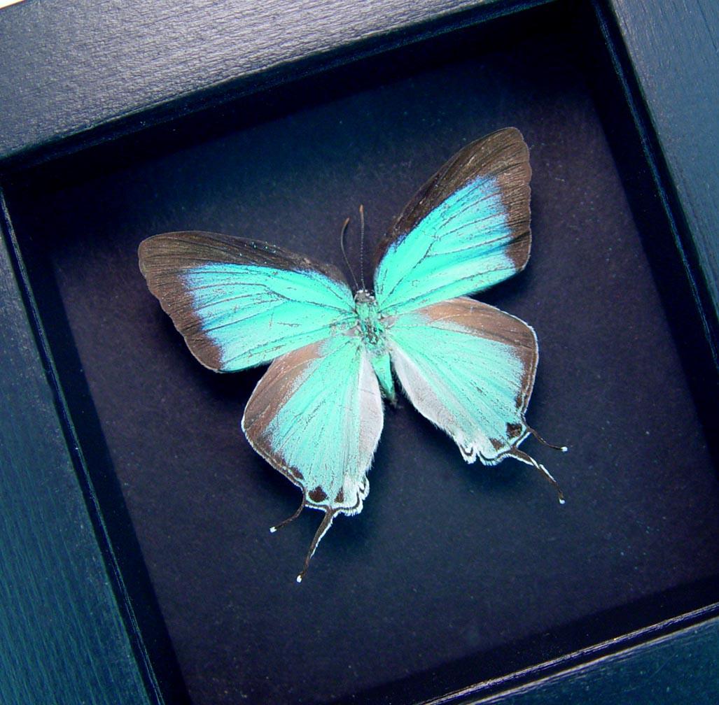 Pseudolycaena marsyas Female Cambridge Blue Framed Butterfly Moonlight Display ooak