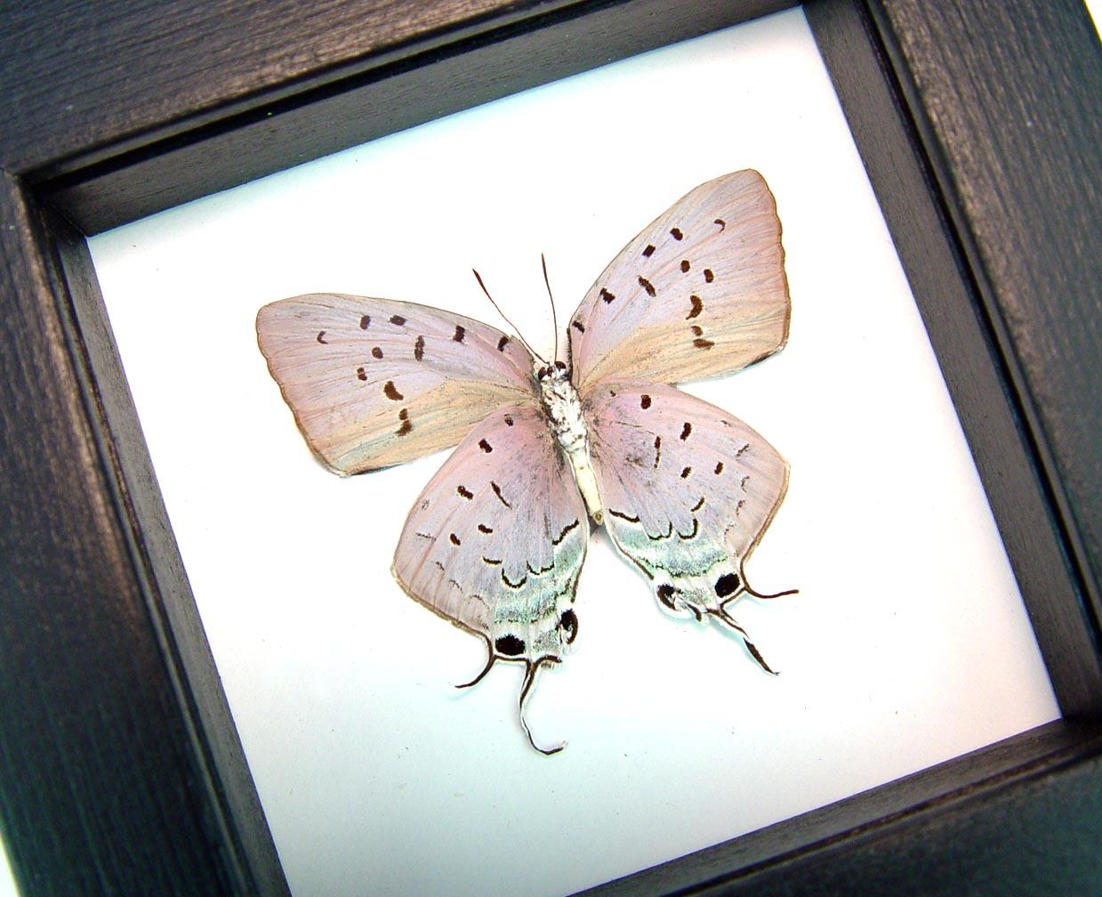 Pseudolycaena marsyas verso Lavender Butterfly Classic Black Display ooak