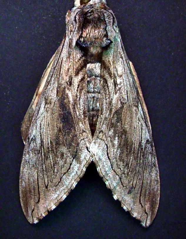 Creepy shrouded Hawkmoth Framed Moth Moonlight Display ooak