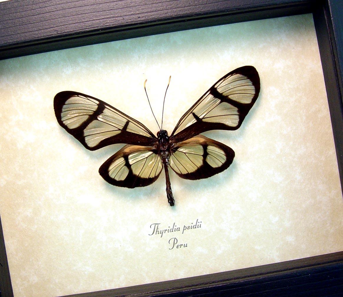 Thyridia psidii Framed Glasswing Butterfly OOAK