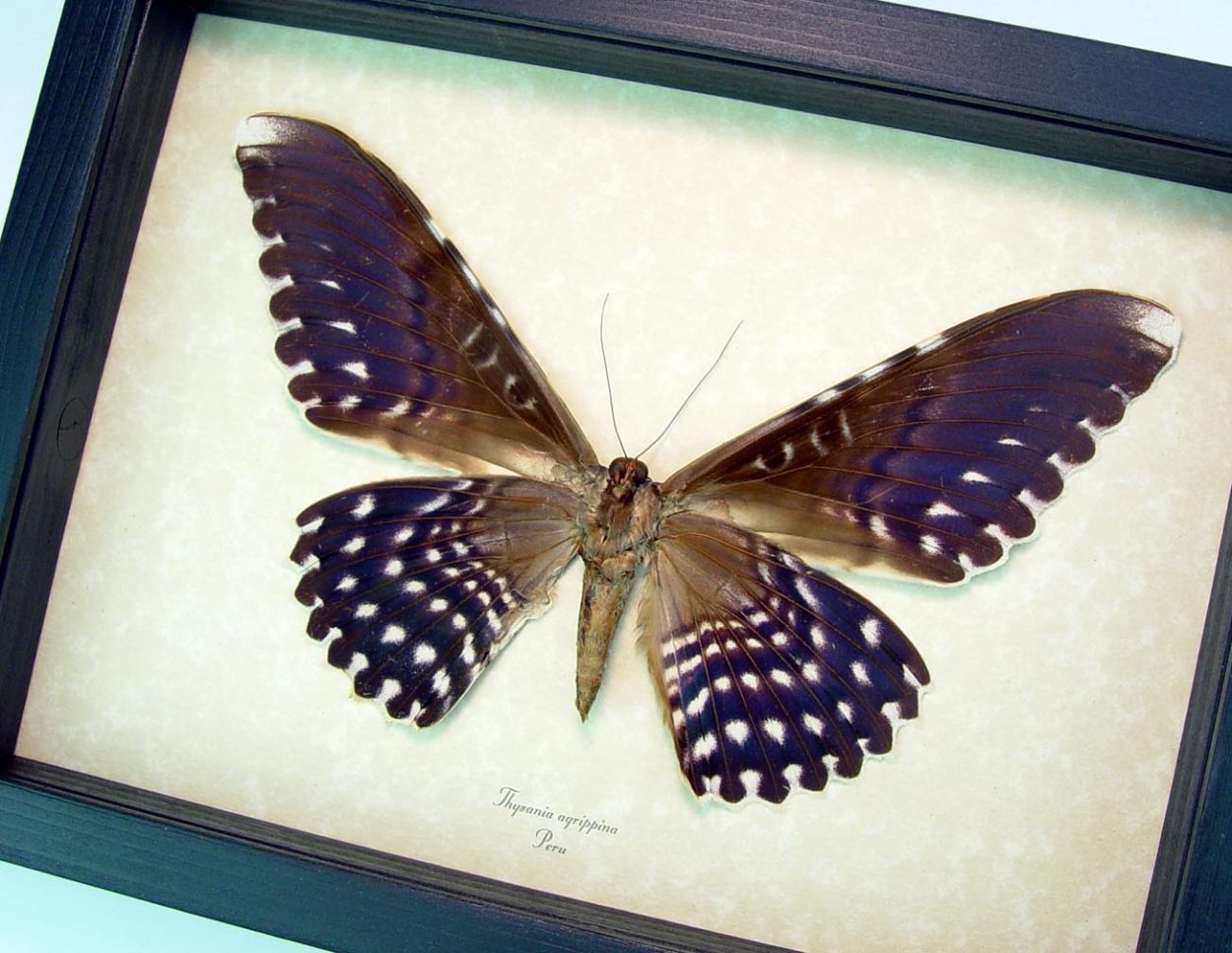 """Thysania agrippina verso White Witch Moth Framed Giant Moth 8"""" Wide Wingspan ooak"""