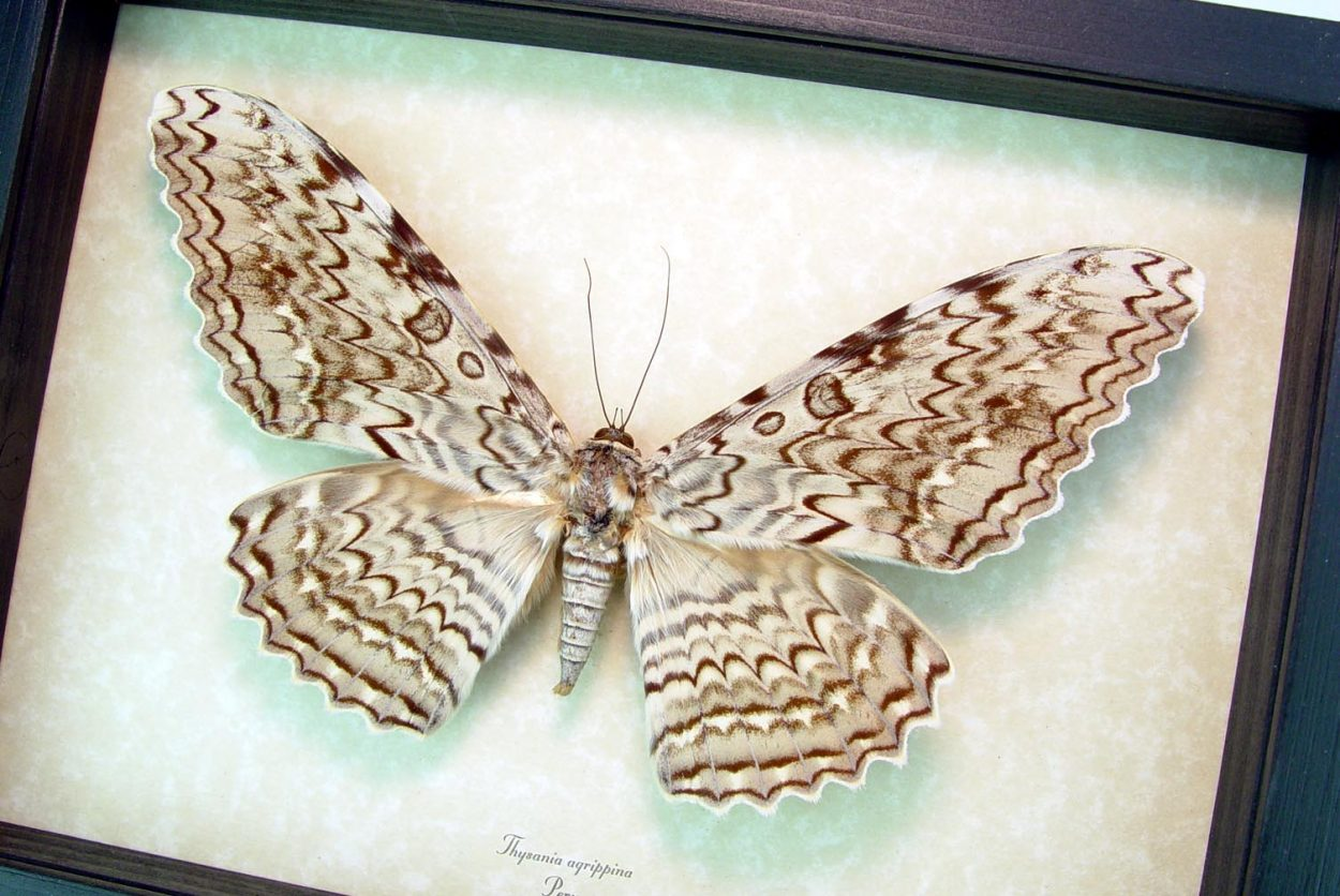 """Thysania agrippina White Witch Moth Framed Giant Moth 8"""" Wide Wingspan ooak"""