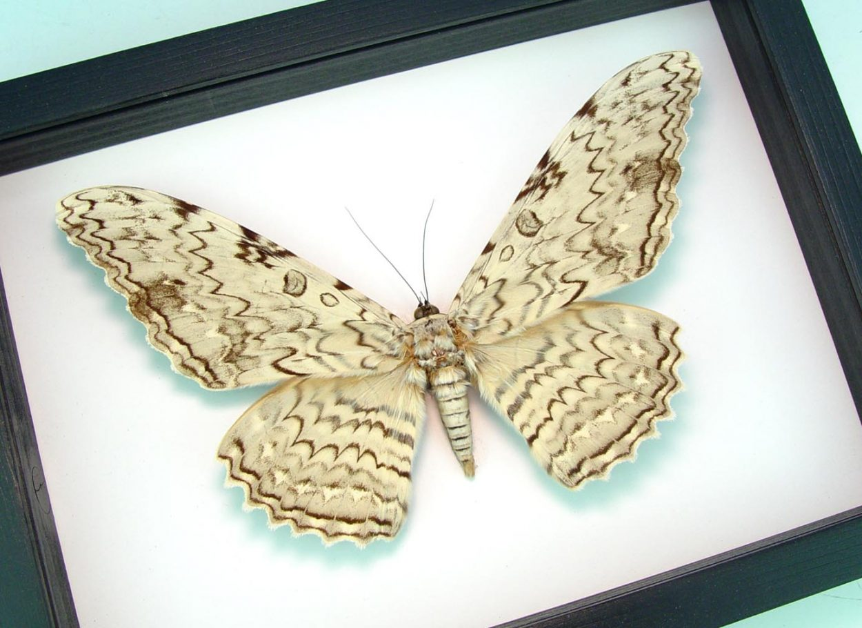 """Thysania agrippina White Witch Moth Framed Giant Moth 8"""" Wide Wingspan Classic Black Display ooak"""