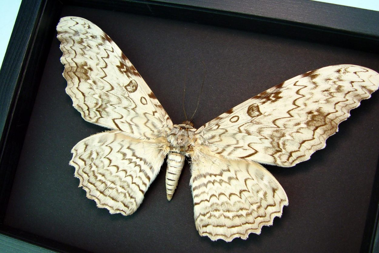 """Thysania agrippina White Witch Moth Framed Giant Moth 8 3/4"""" Wide Wingspan Moonlight Display ooak"""