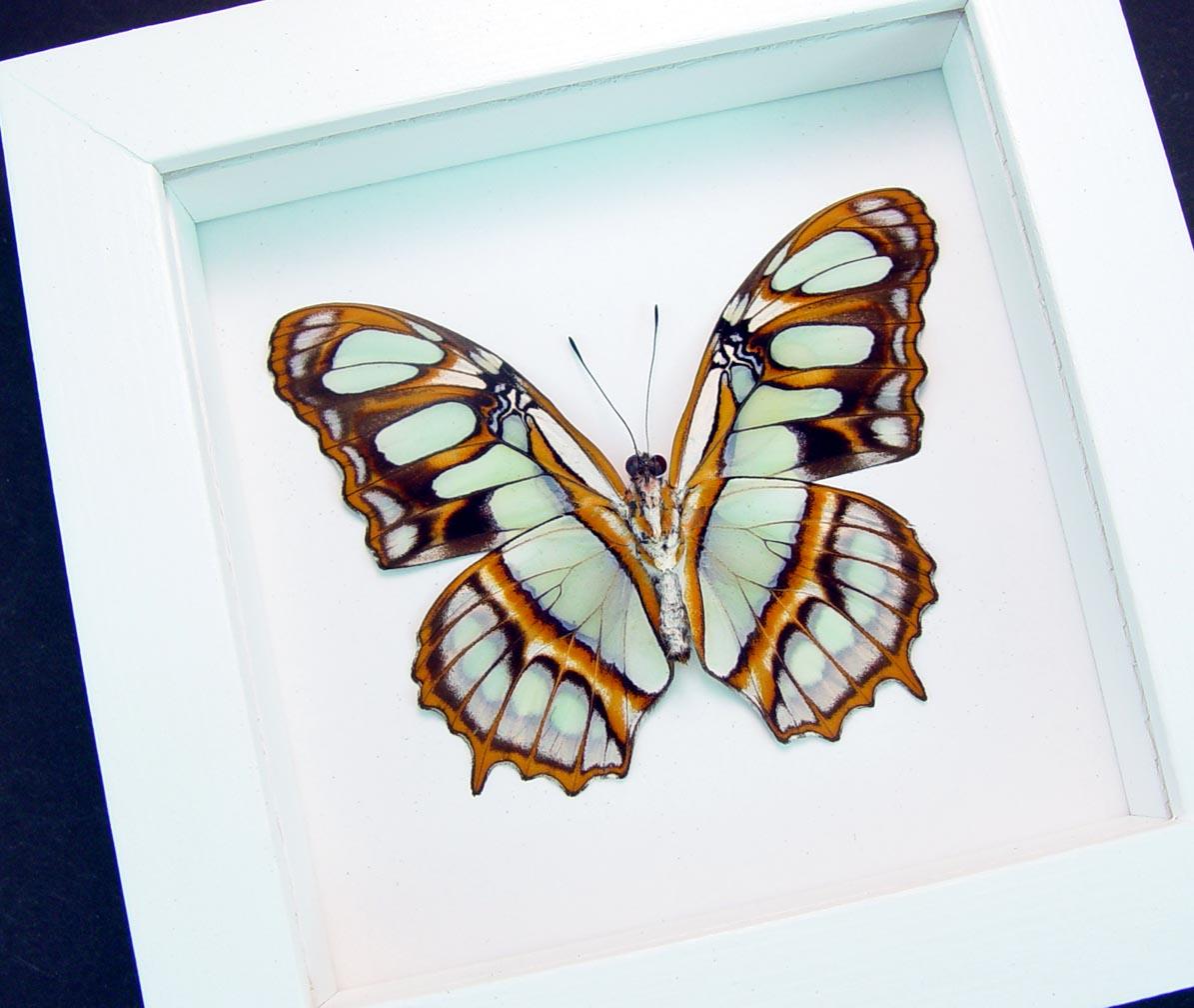 Malachite Butterfly Framed Victorina stelenes Vibrant White Display