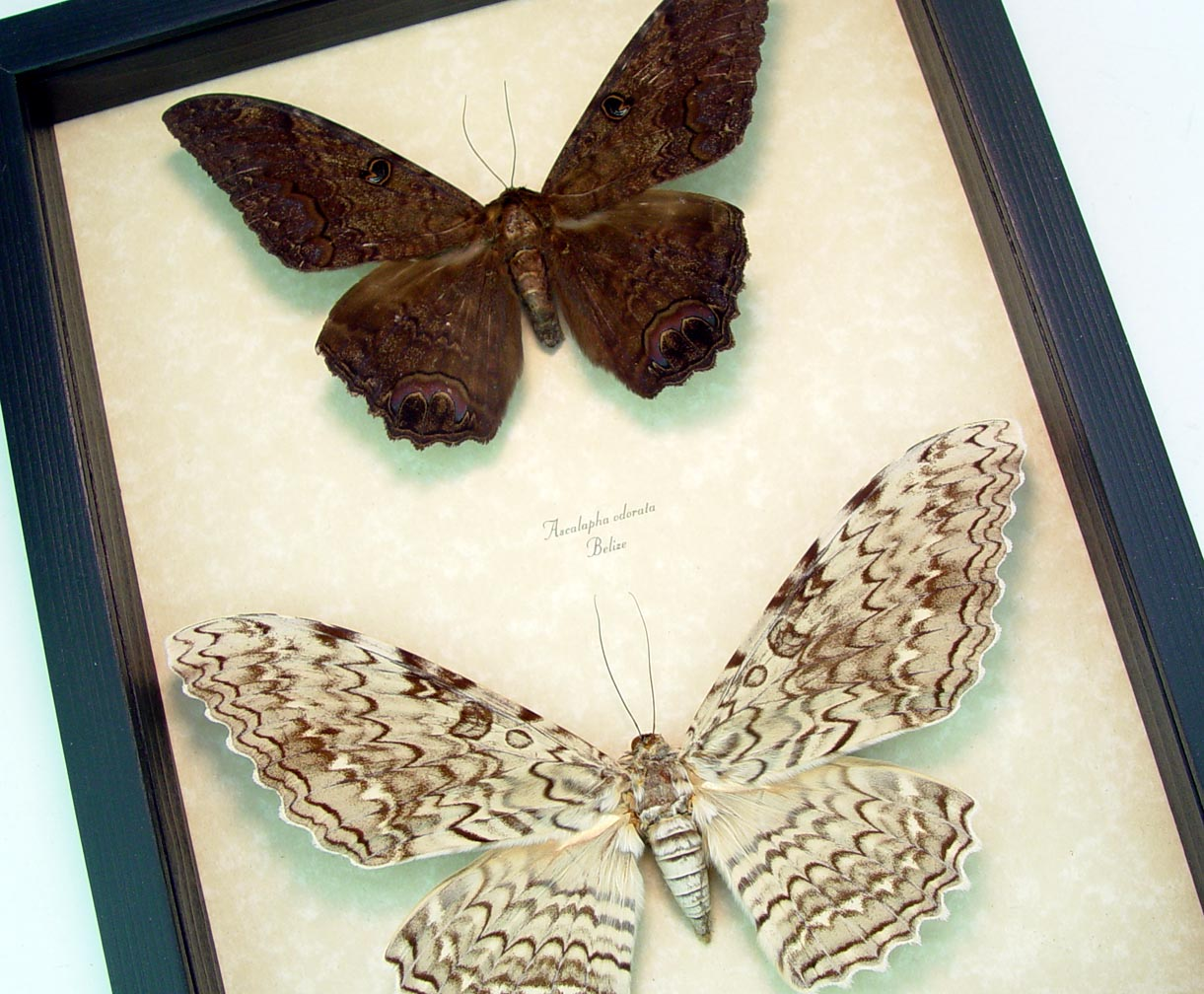 Witch Moth Collection White Black Witch moths Framed Moth Set ooak
