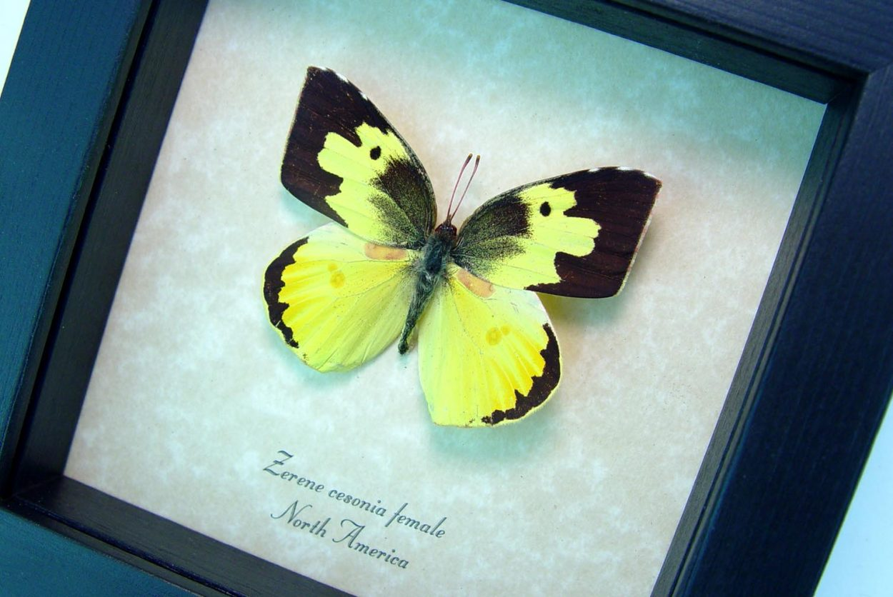 Zerene cesonia Female Southern Dogface Butterfly ooak