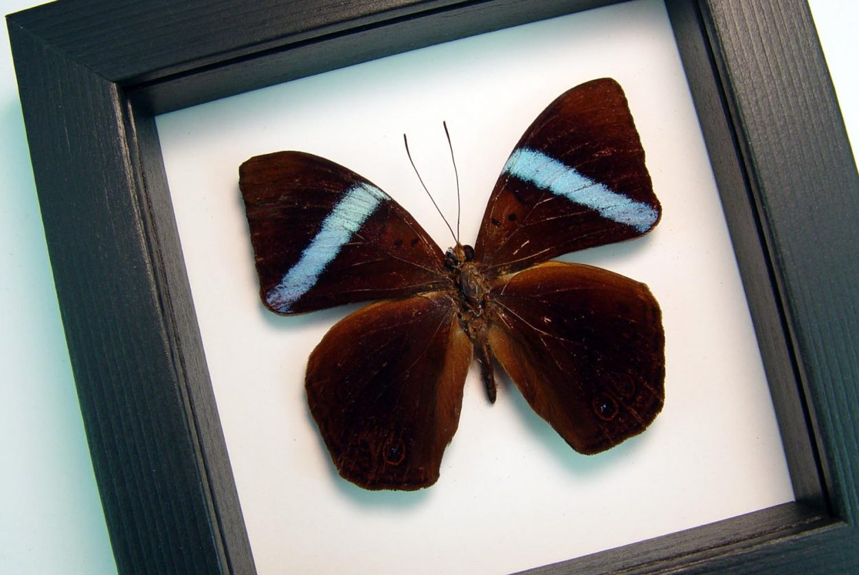 Amnosia decora Blue Banded Framed Butterfly Classic Black Display ooak