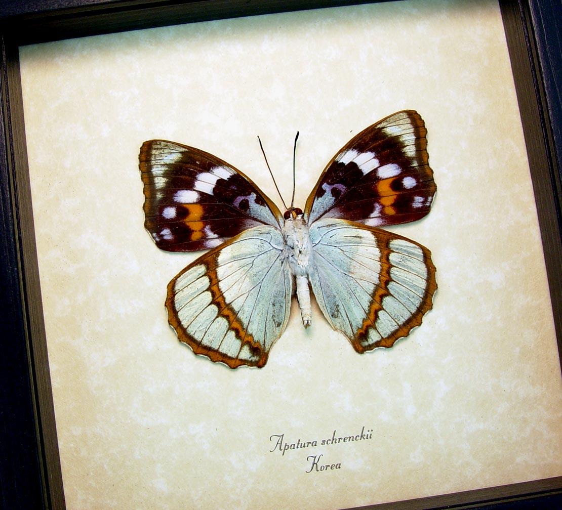 Apatura Mimathyma schrenckii Framed Aqua Blue Butterfly ooak