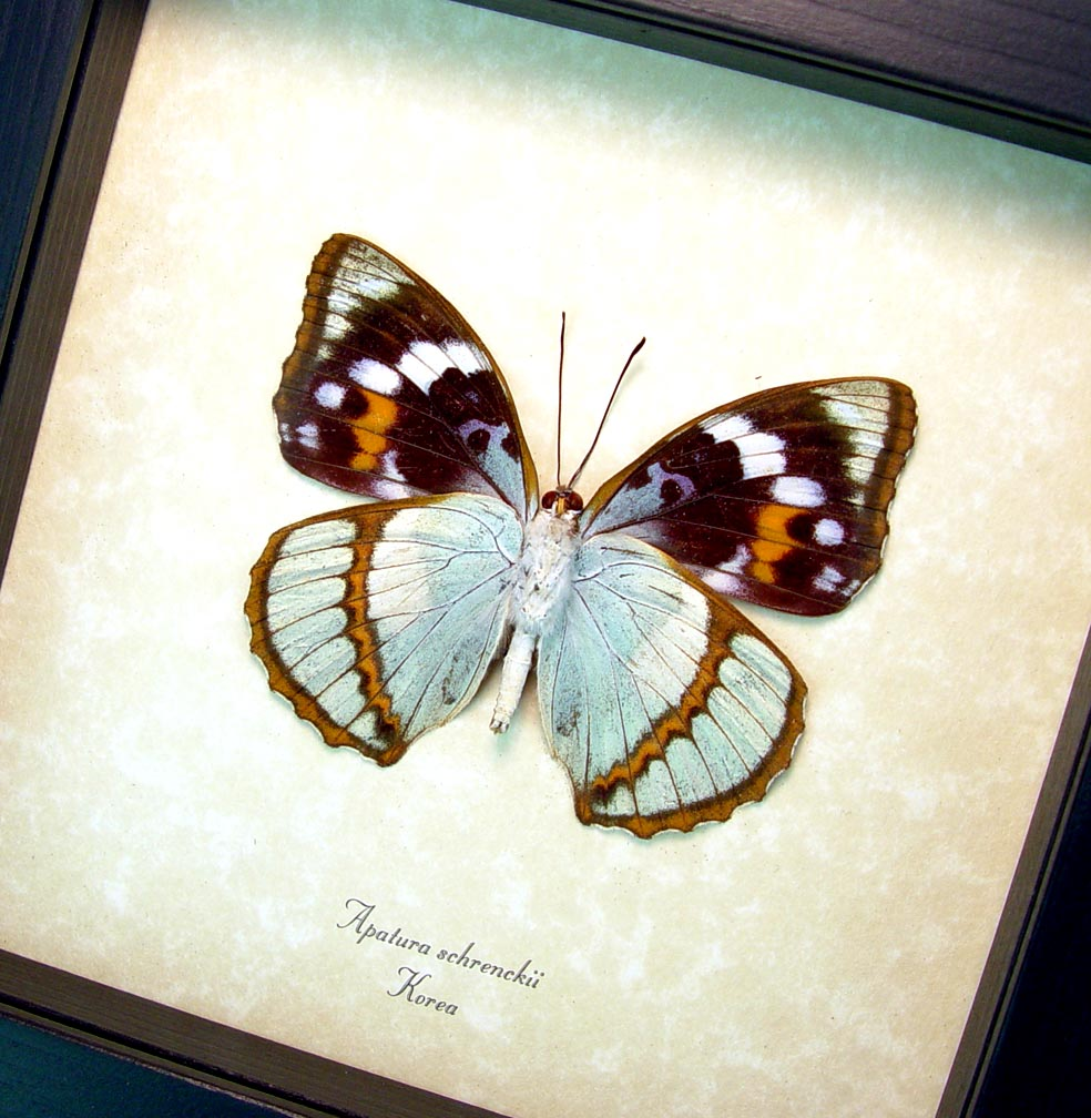 Apatura Mimathyma schrenckii Framed Aqua Blue Butterfly