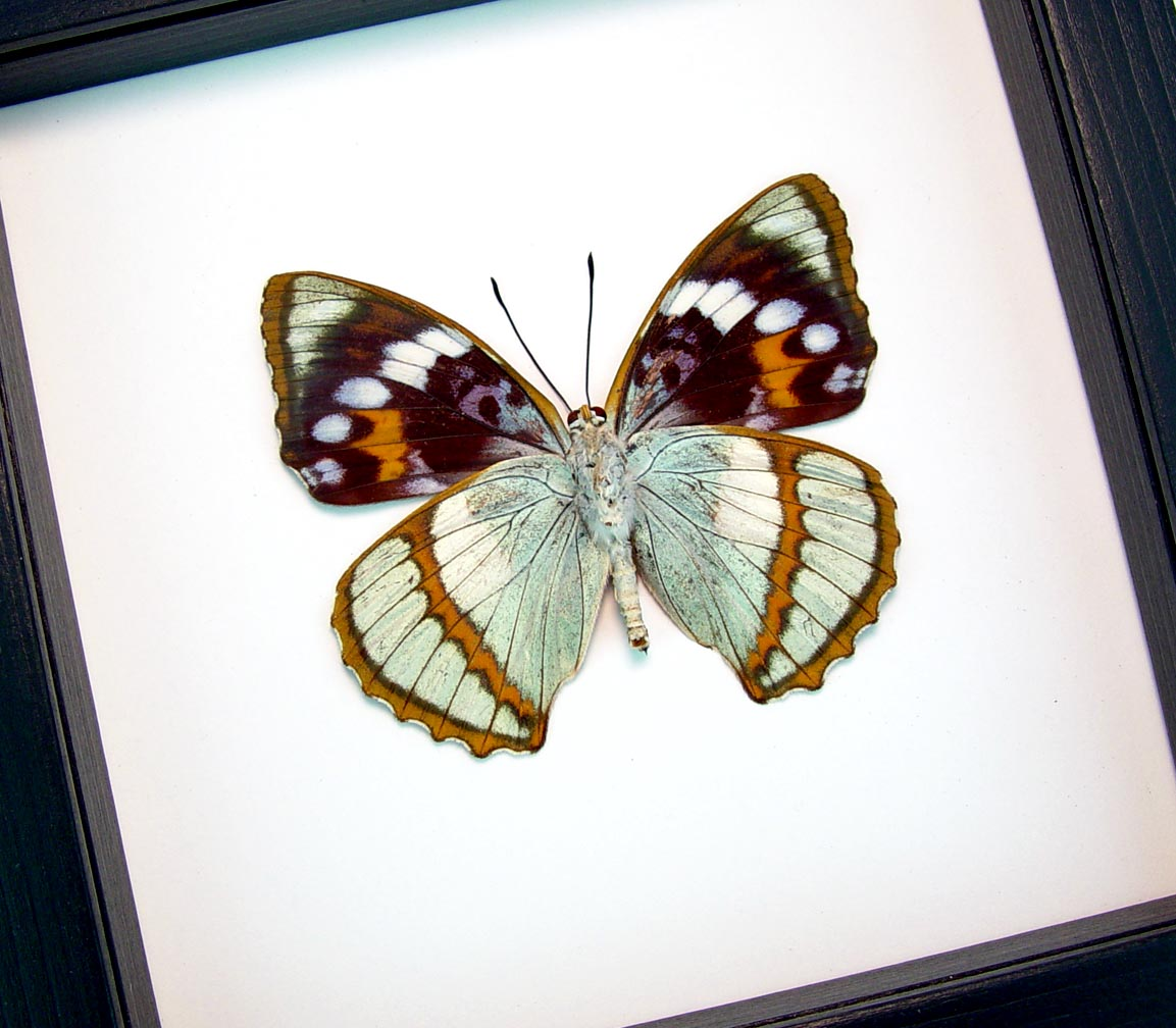 Apatura Mimathyma schrenckii Framed Aqua Blue Butterfly Classic Black Display ooak