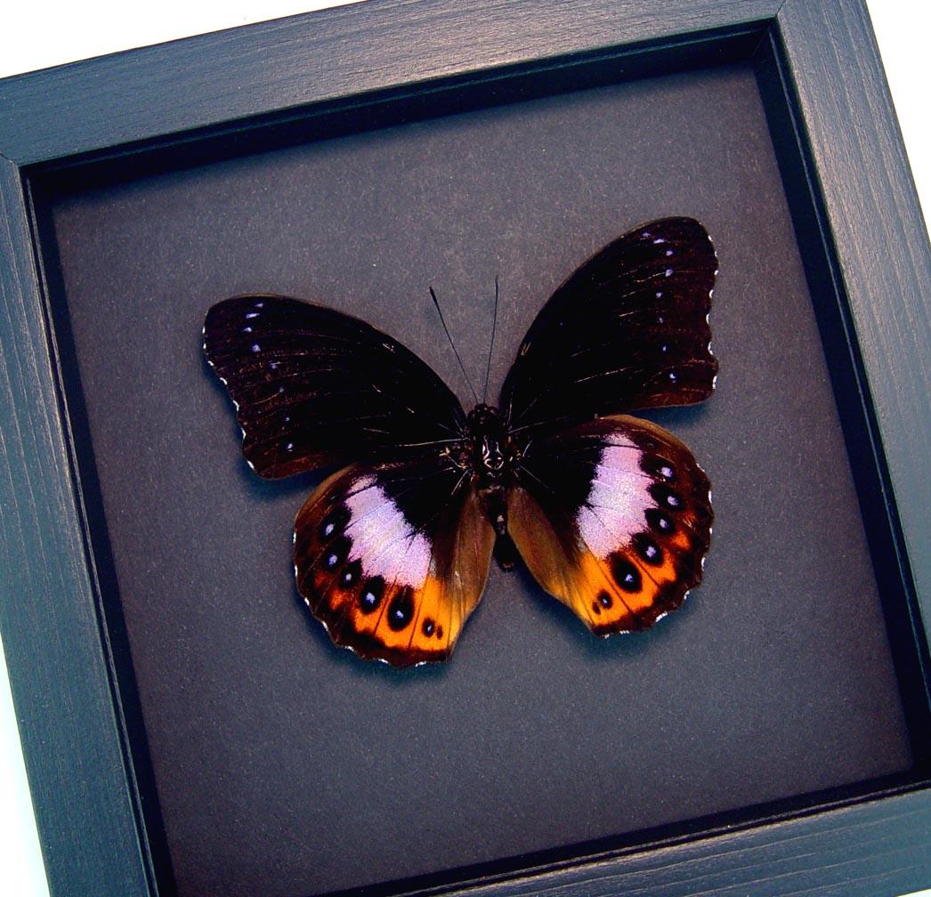 Hypolimnas pandarus Purple Orange Framed Butterfly Moonlight Display ooak