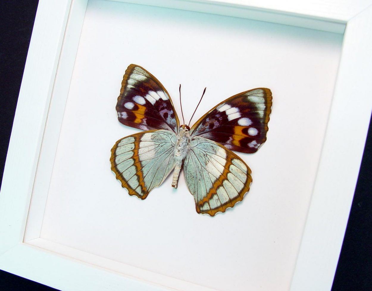 Apatura Mimathyma schrenckii Framed Aqua Blue Butterfly Vibrant White Display