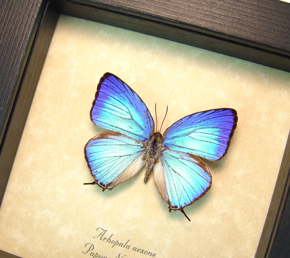 Arhopala aexone Electric Blue Butterfly Framed Insect ooak