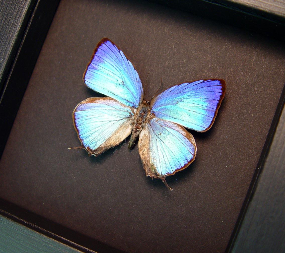 Arhopala aexone Electric Blue Butterfly Moonlight Display ooak
