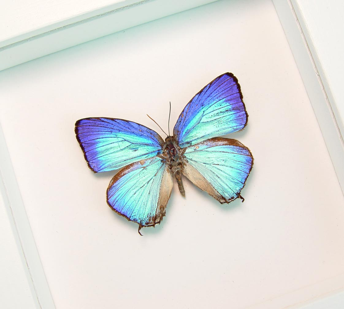 Arhopala aexone Electric Blue Butterfly Vibrant White Display