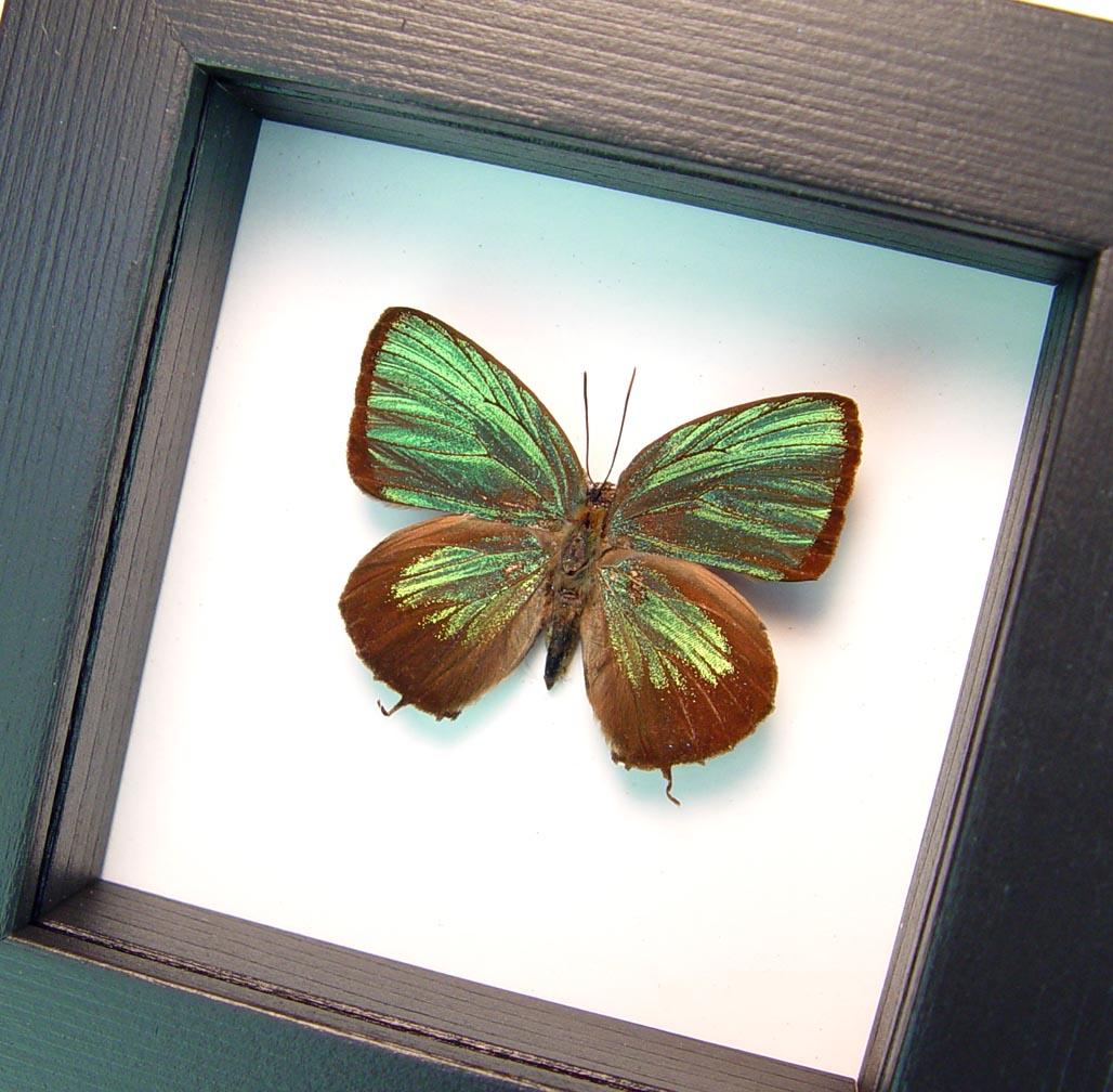Arhopala eumolphus Metallic Green Butterfly Framed Insect Classic Black Display ooak