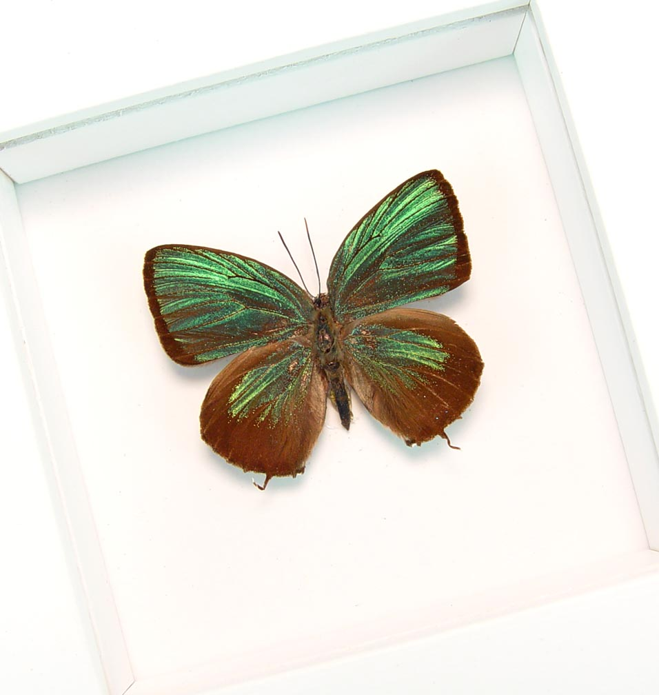 Arhopala eumolphus Metallic Green Butterfly Framed Insect Vibrant White Display