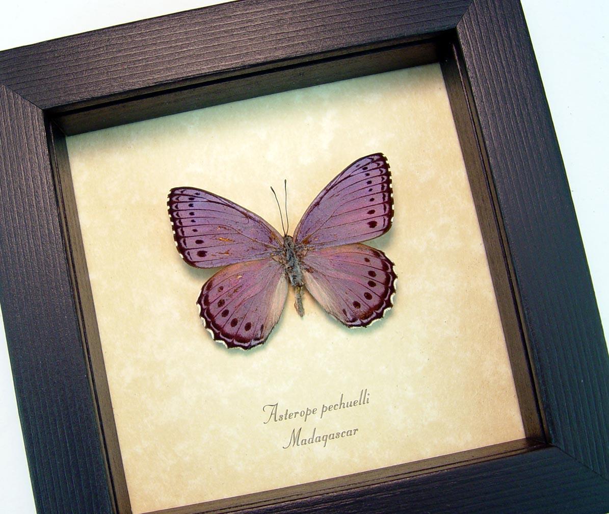 Asterope pechuelli Framed Lavender Butterfly ooak
