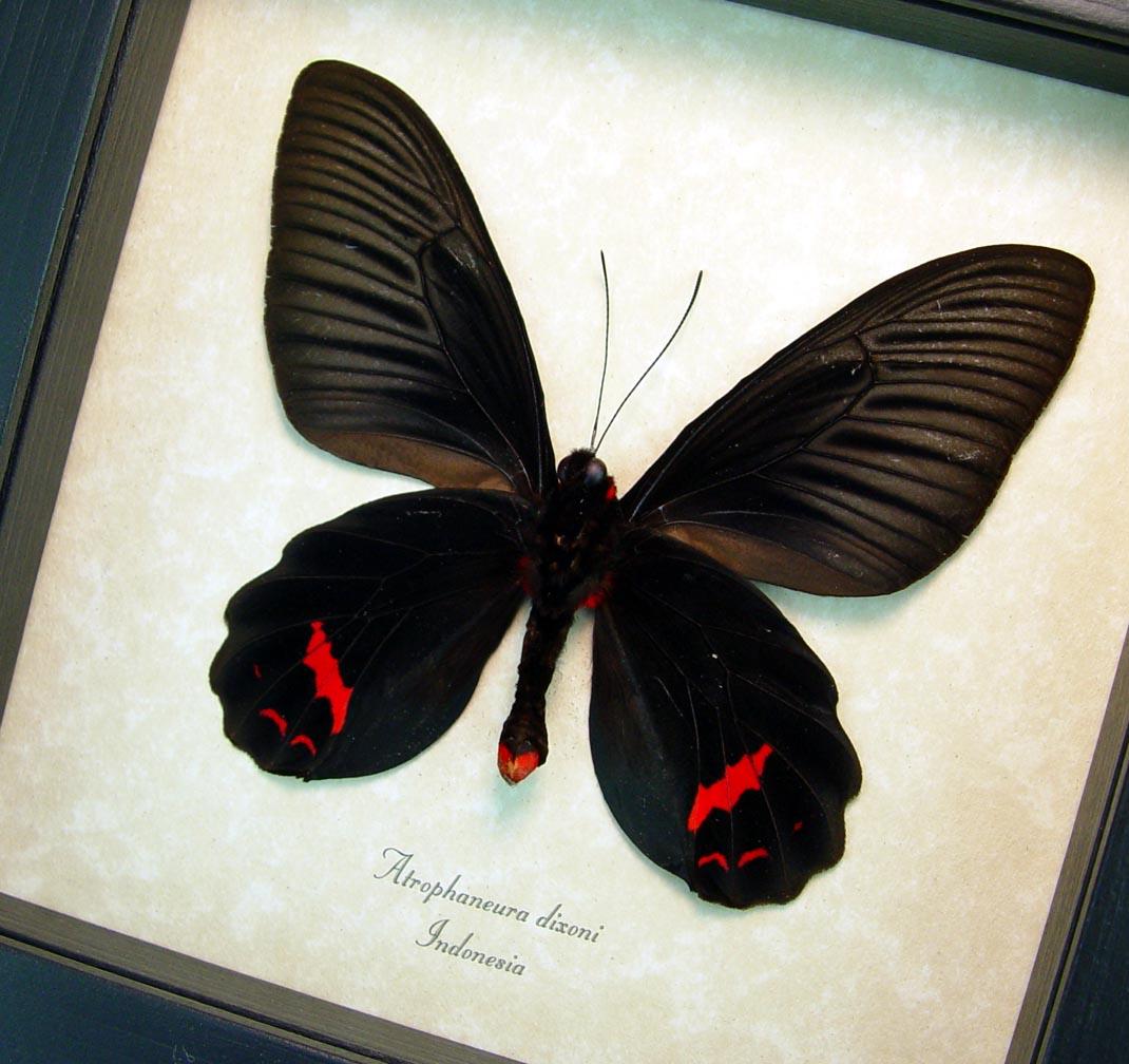 Atrophaneura Dixoni Verso Black Red Framed Butterfly ooak