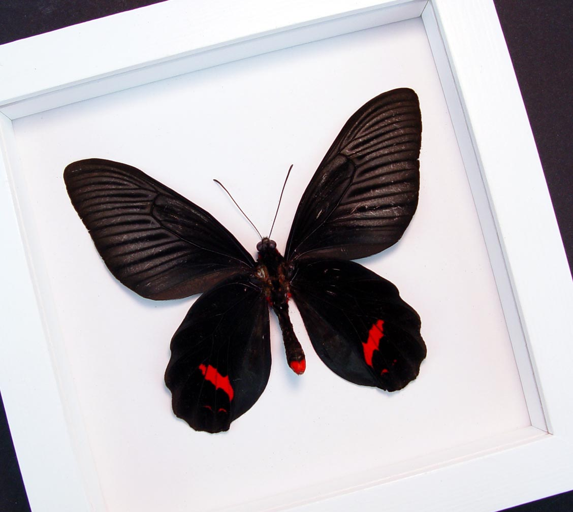 Atrophaneura Dixoni Verso Black Red Framed Butterfly Vibrant White Display