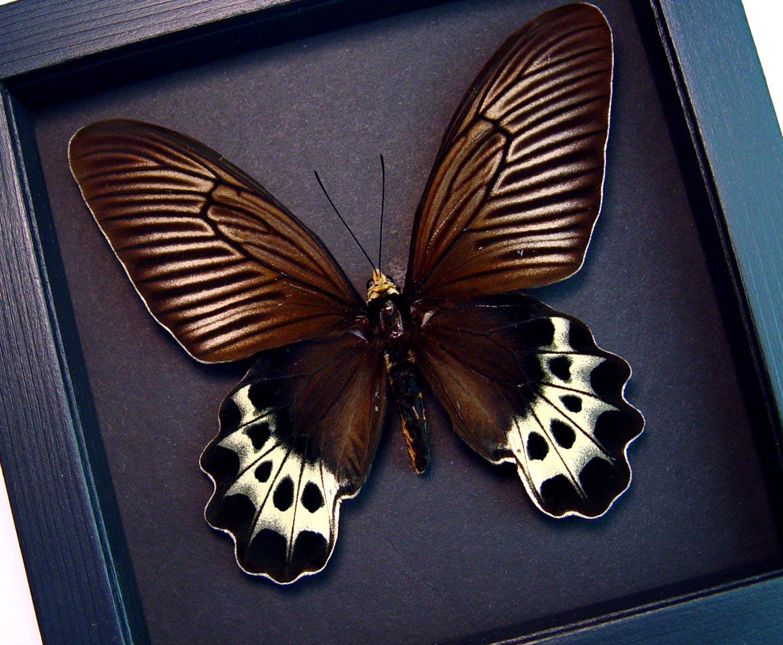 Atrophaneura priapus Female White-head Batwing Framed Butterfly Moonlight Display ooak