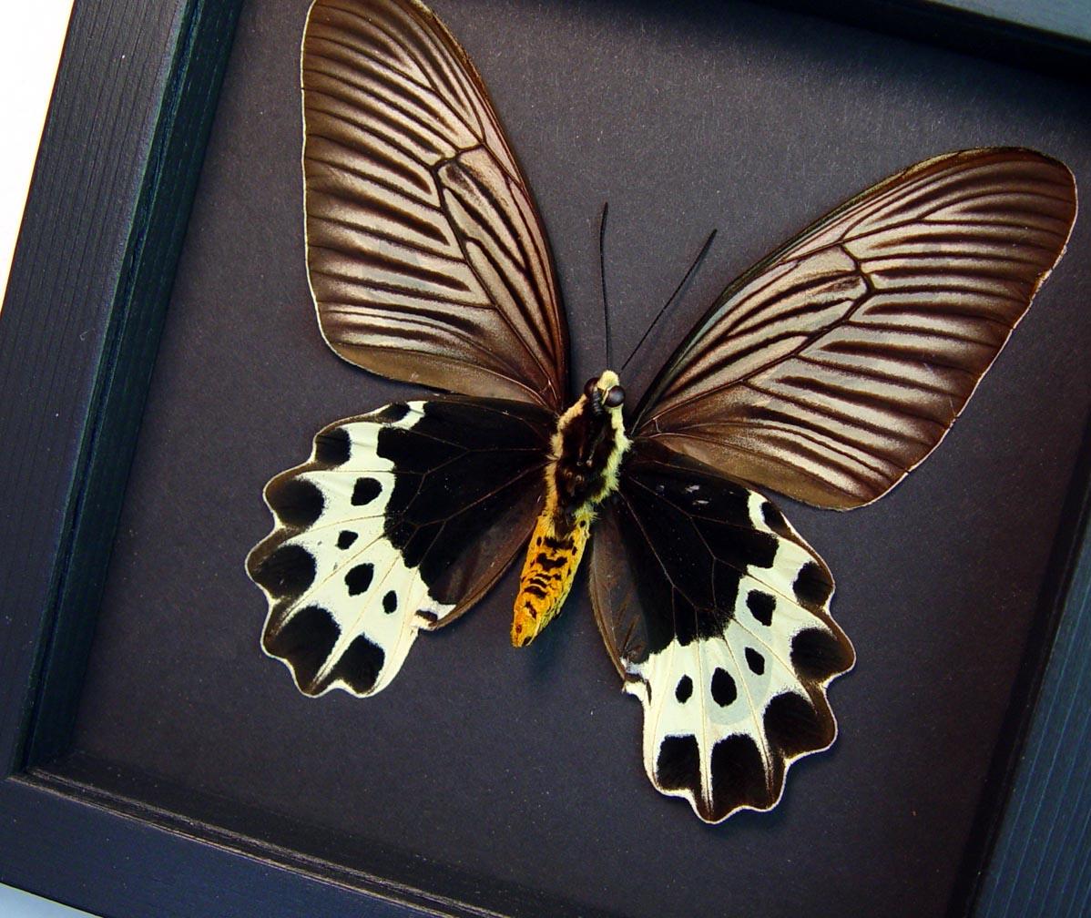 Atrophaneura priapus Female verso White-head Batwing Framed Butterfly Moonlight Display ooak