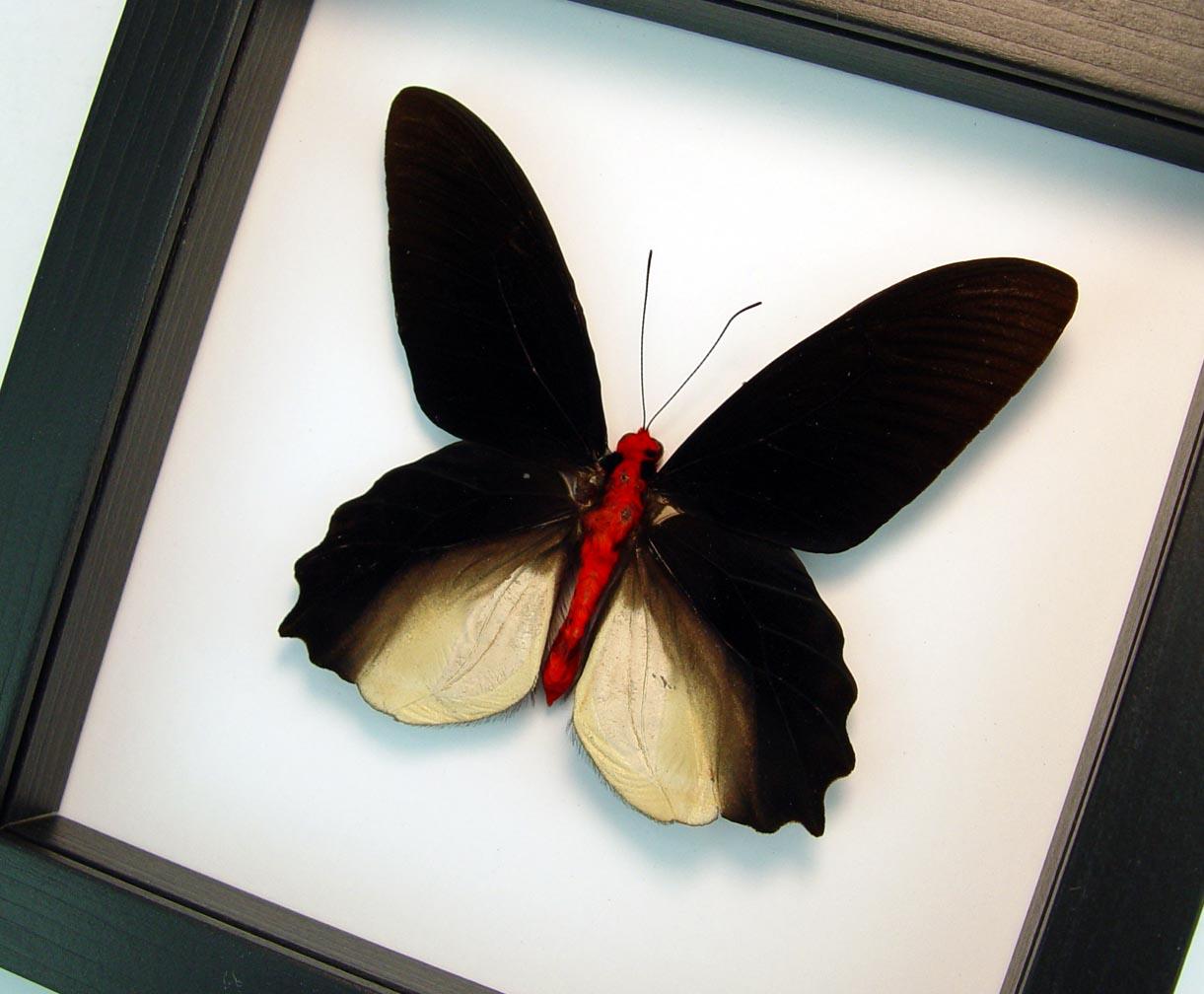 Atrophaneura semperi albofasciata Black Framed Butterfly Classic Black Display ooak