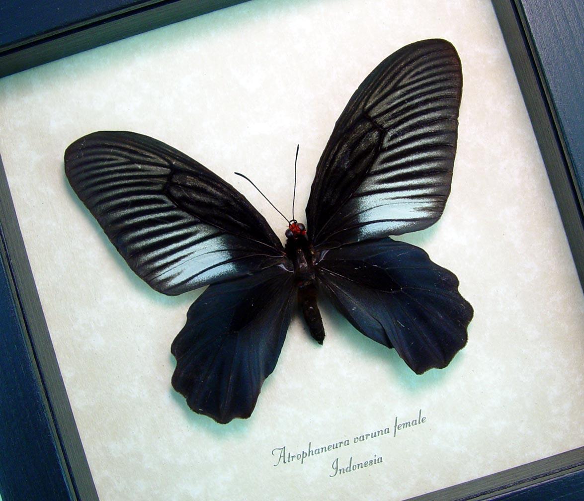 Atrophaneura varuna female Rare Black Butterfly Framed Insect ooak