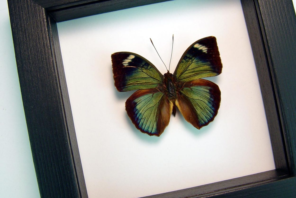 Bebearia barce Shinning Green Forester Framed African Butterfly Classic Black Display ooak