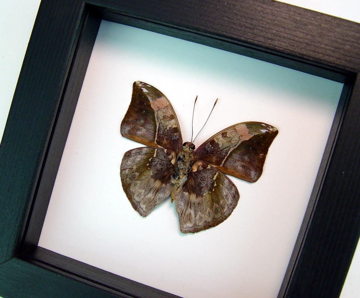 Bebearia sophus male Verso Rare Leaf Mimic Butterfly Classic Black Display ooak