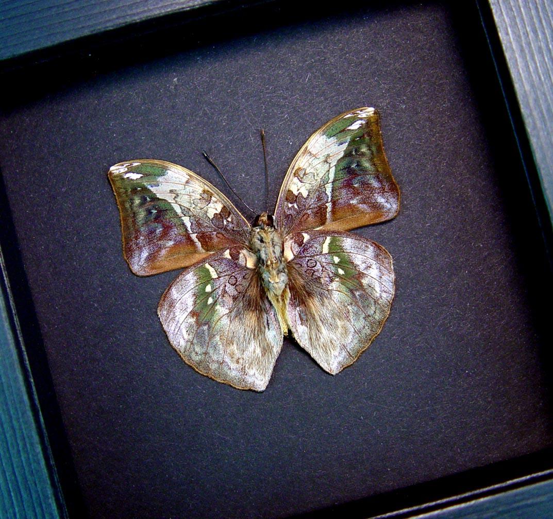 Bebearia sophus male Verso Rare Leaf Mimic Butterfly Moonlight Display