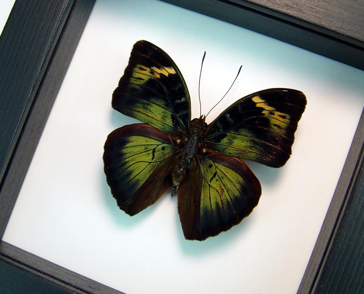 Bebearia sp Green Framed African Butterfly Classic Black Display ooak