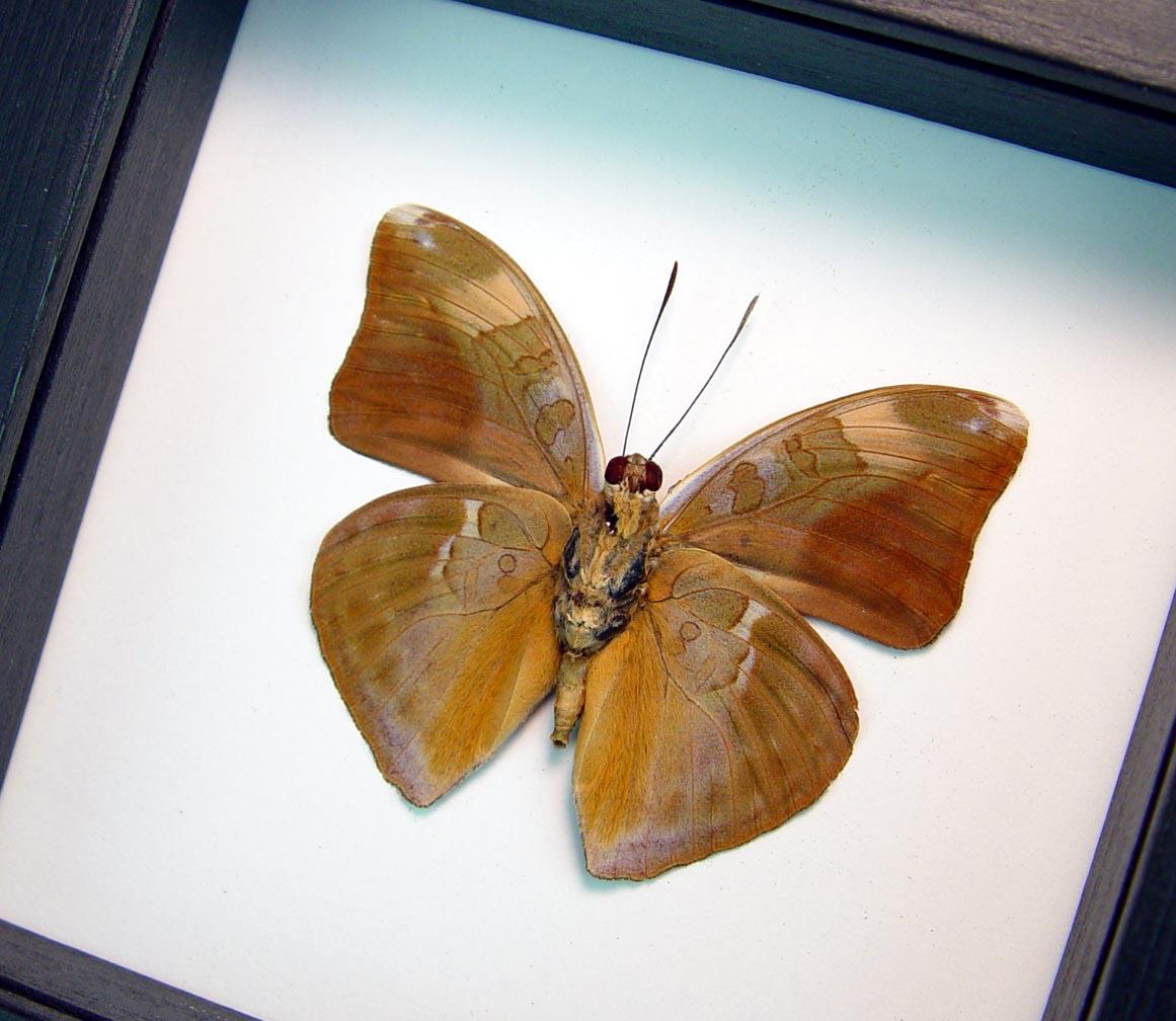 Bebearia species verso Green Leaf Mimic Butterfly Classic Black ooak
