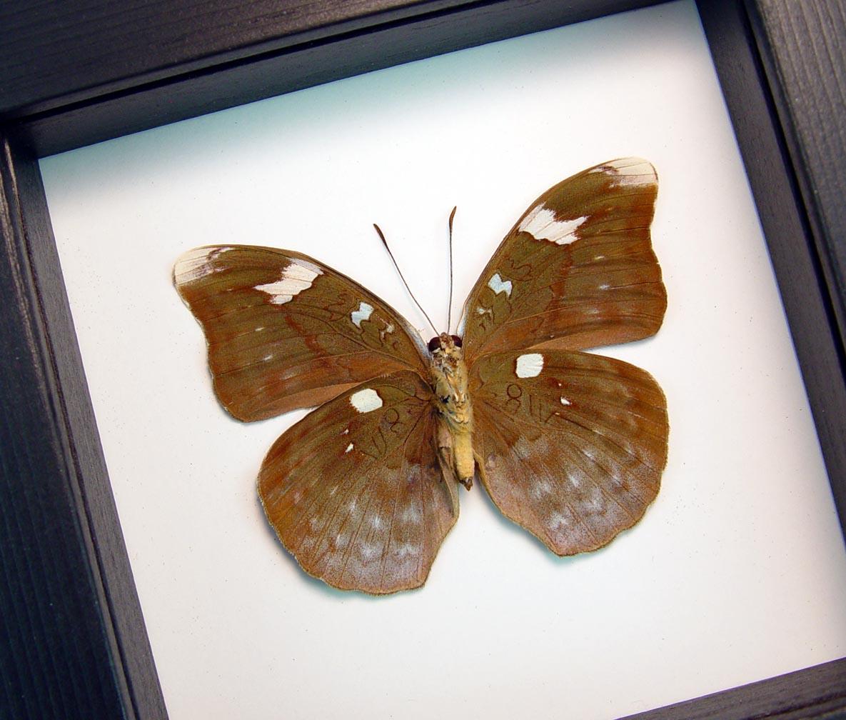 Framed Butterfly Bebearia sp verso Green Leaf Mimic Classic Black Display ooak