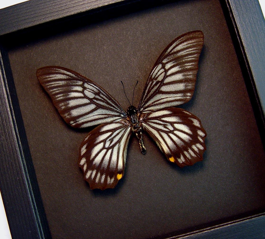 Chilasa veiovis Black Gothic Skull Butterfly Framed Butterfly Moonlight Display ooak
