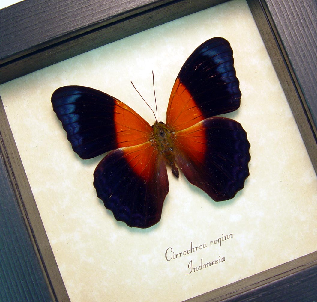 Cirrochroa regina Rare Orange Blue Butterfly Framed Insect ooak