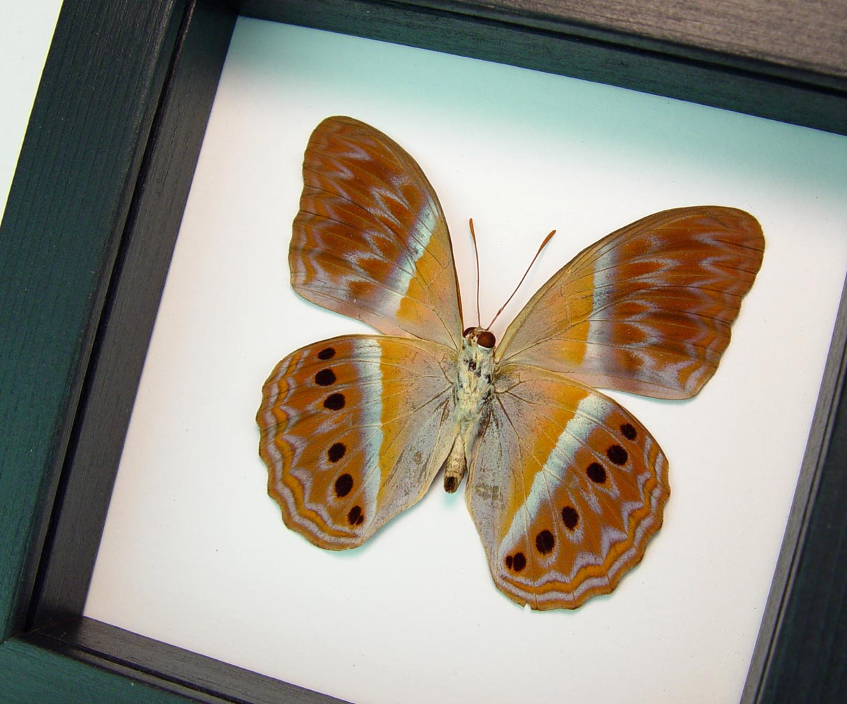 Cirrochroa regina Female verso Pink Harlequin Butterfly Framed Insect Classic Black Display ooak