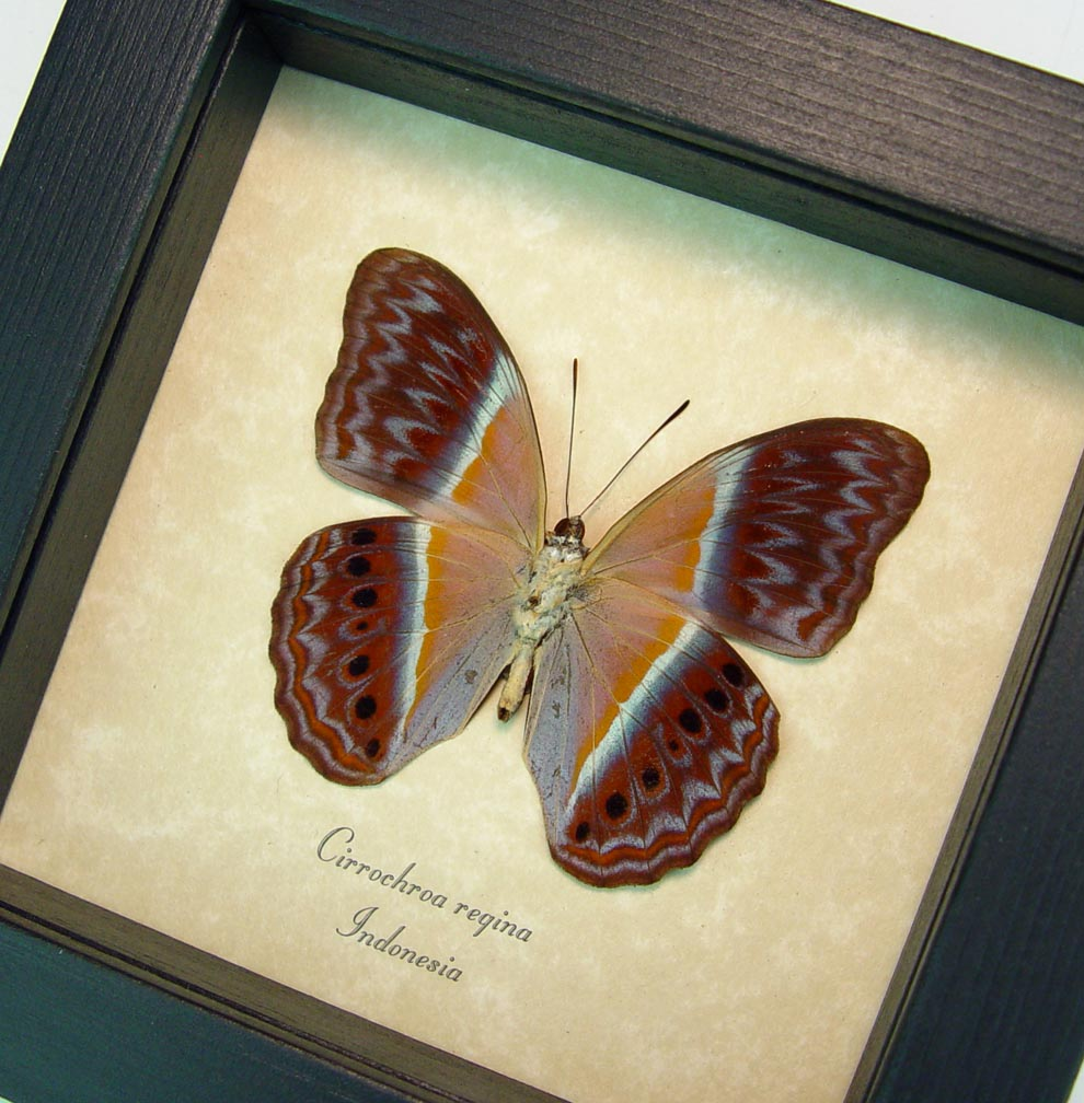 Cirrochroa regina verso Pink Harlequin Butterfly Framed Insect ooak