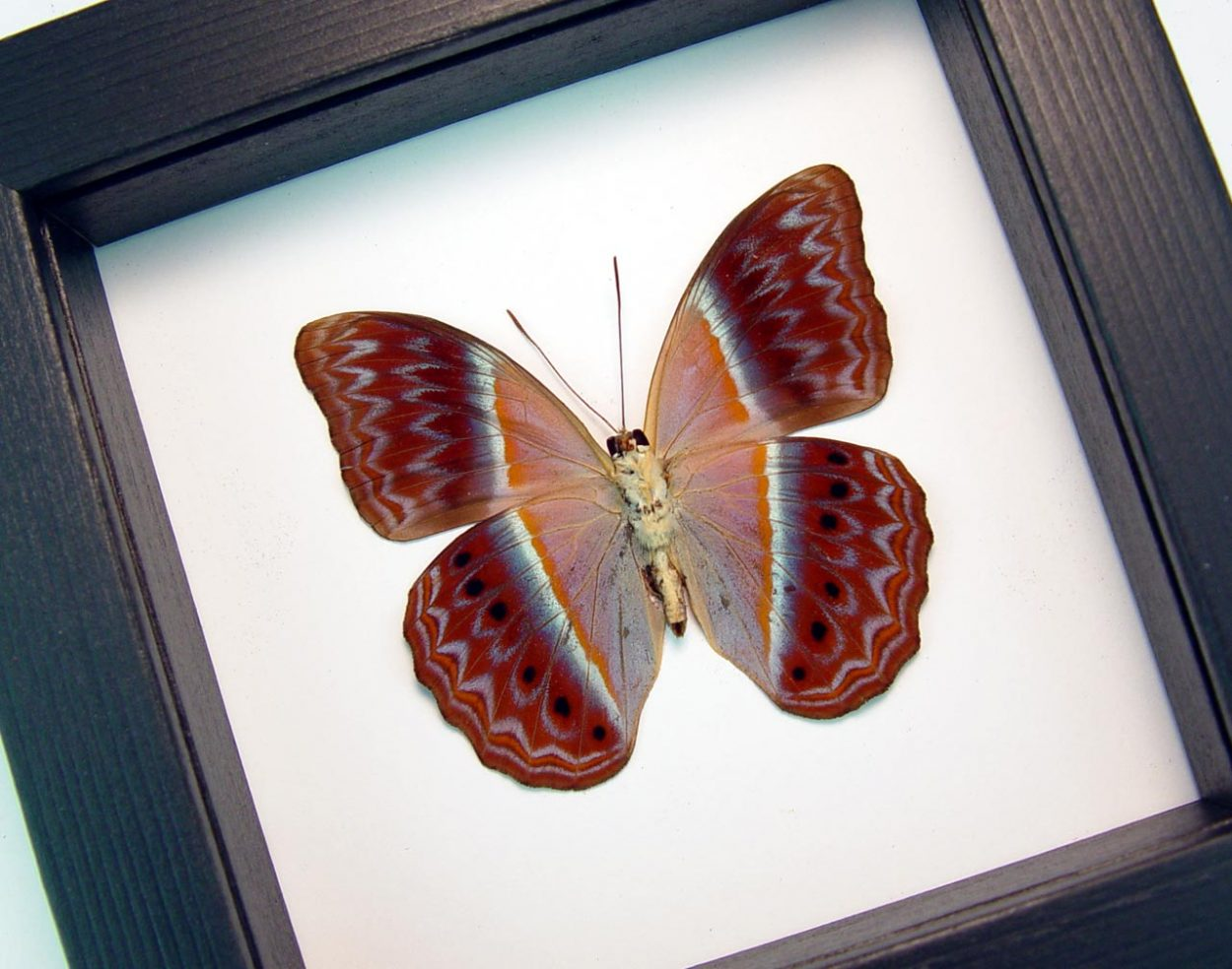 Cirrochroa regina verso Pink Harlequin Butterfly Framed Insect Classic Black Display ooak