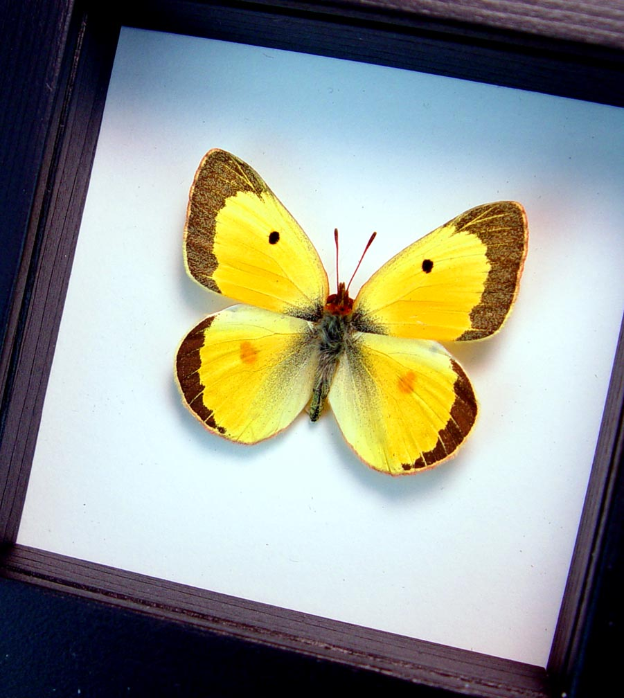 Colias philodice Male Orange clouded sulphur Framed Butterfly Classic Black Display ooak