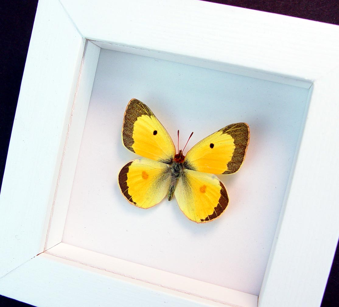 Colias philodice Male Orange clouded sulphur Framed Butterfly Vibrant White Display