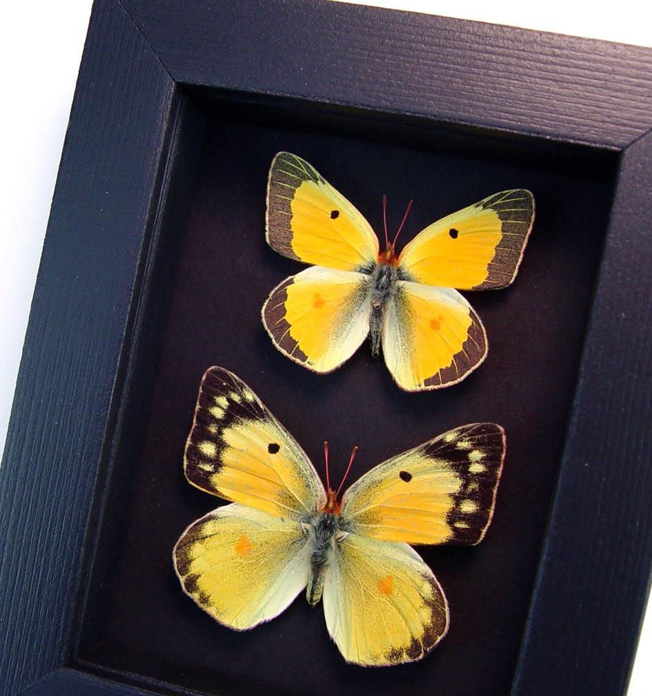 Colias philodice Pair Orange clouded sulphur Framed Butterflies Moonlight Display ooak