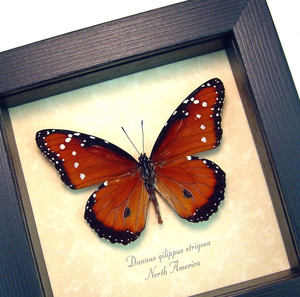 Danaus gilippus Queen Butterfly Real Framed Insect ooak