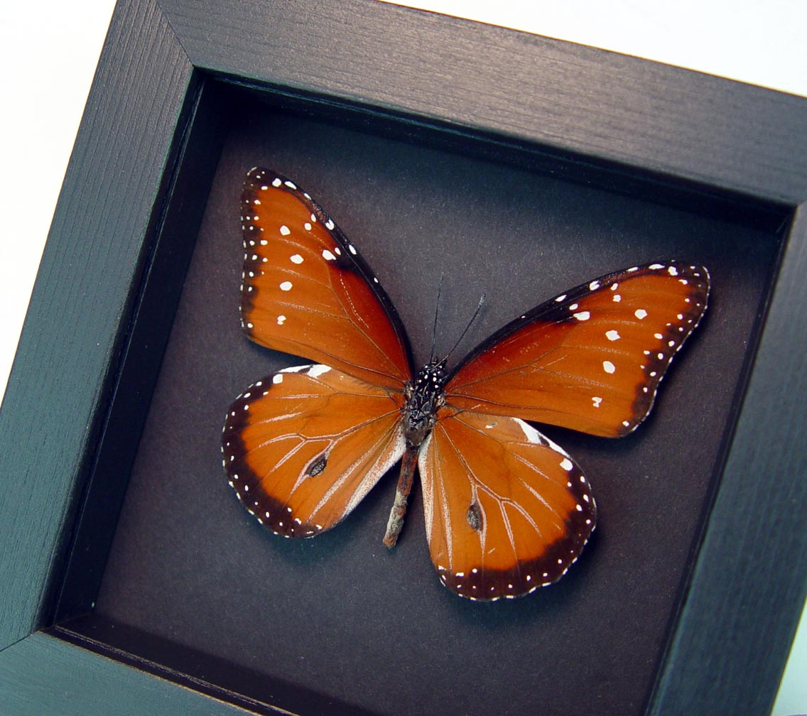 Danaus gilippus Queen Butterfly Real Framed Insect Moonlight Display ooak